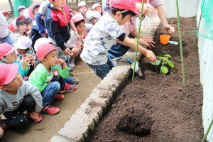 年長 野菜の苗植え